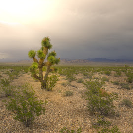 Alone in the Desert by Jeannie Meyer - Landscapes Deserts ( death valley, mountains, desert, green, storm, cactus )
