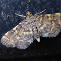 Yellow-spotted Webworm Moth