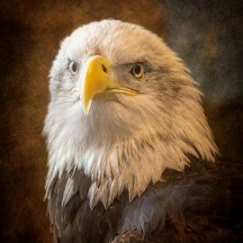 An Eagles Majesty by Bill Tiepelman - Animals Birds ( bird, eagle, nature, bald eagle, wildlife, profile )