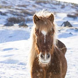 Icelandic horse by Anna Guðmundsdóttir - Animals Horses ( iceland, icelandic horse, snow, horse, anna guðmundsdóttir, ísland, hestur, íslenskur hestur )