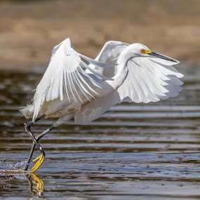 Snowy Egret fishing by Shutter Bay Photography - Animals Birds ( nature, action, fishing, snowy egret, egret )