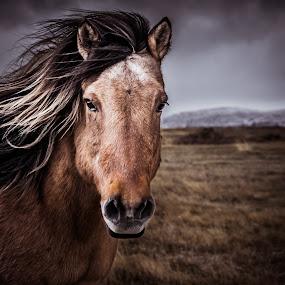 Icelandic Horse by Derek Kind - Animals Horses ( icelandic, icelandic horses, iceland, equine, horses, icelandic horse, horse )