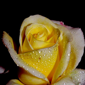 rose.,.,., by Anand Kumar - Nature Up Close Flowers - 2011-2013 ( rose, petals, yellow, flower, droplets )