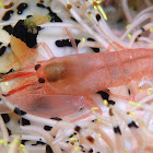 Snapping/Pistol Shrimp