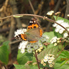 Indian Red Admiral Butterfly.