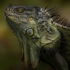 Green Iguana by Dbart ... - Animals Reptiles ( macro, iguana, detailed, fauna, macro photography, green iguana, reptile,  )