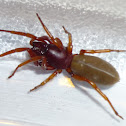 Woodlouse Spider, Sowbug Killer, Slater Spider, Pillbug Killer, Orange Spider