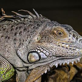 Iguana by Garry Chisholm - Animals Reptiles ( garry chisholm, lizard, nature, iguana, reptile )