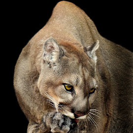 Mountain Lion Preens by Shawn Thomas - Animals Lions, Tigers & Big Cats