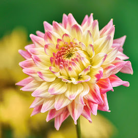 Red & Yellow Dahlia by Jim Downey - Flowers Single Flower ( red, green, dahlia, yellow, petals )