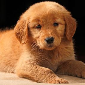 Pose by Cristobal Garciaferro Rubio - Animals - Dogs Puppies ( pet, puppie, dog, little dog, golden, golden retriever )
