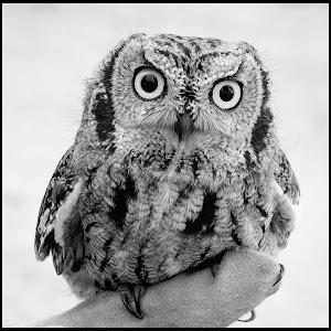 Screech Owl-16.jpg
