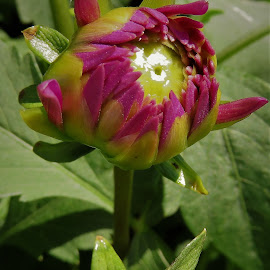 by Denise O'Hern - Flowers Flower Buds