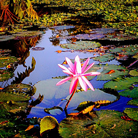 Waterlily pond by Janette Ho - Instagram & Mobile iPhone (  )