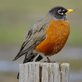 American Robin  by Nick Swan - Animals Birds ( bird, nature, american robin, wildlife, bc )