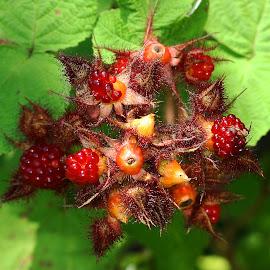 Berries by Debra Branigan - Nature Up Close Other plants ( other plants, nature up close, photography, berries )