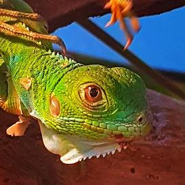Eye see you  by Hayley Moortele - Animals Reptiles ( #glassyeye, #oneeye, #green, #lizard )