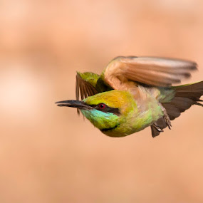Green Bee Eater in flight by Masood Hussain - Animals Birds ( bird, aves, flight, green bee eater, nature, fly, green, wildlife, birds )