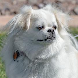 Dog by Dave Lipchen - Animals - Dogs Portraits ( dog )
