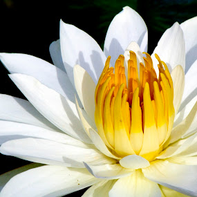 White Waterlily by Nicolas Los Baños - Nature Up Close Flowers - 2011-2013 ( waterlily, tropical, white, garden, pond, hawaii, flower )