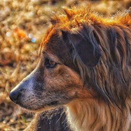 Glittered Frost and Sage by Twin Wranglers Baker - Animals - Dogs Portraits ( glittering frost, autumn grass, frost, english shepherd, dog )