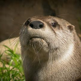 Otter 3 by Gregg Pratt - Animals Other Mammals ( river otter )
