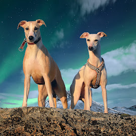 Whippets by Marius Birkeland - Animals - Dogs Portraits ( dogs, aurora, arctic, dog, whippet )