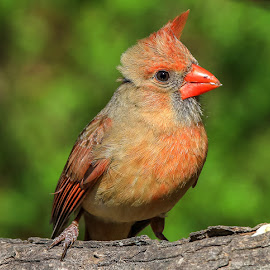 Female Cardinal by Mike Craig - Animals Birds