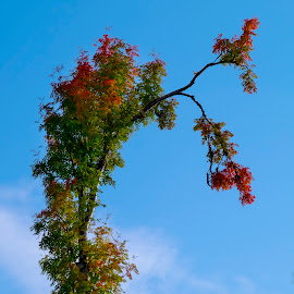 Lone Autumn Tree by Jan Arvid Solem - Nature Up Close Trees & Bushes ( blue sky, red, nature, tree, green, lone, leaves, rowan )