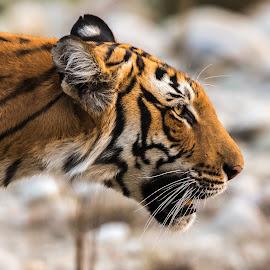 Tiger by Ganesh Namasivayam - Animals Lions, Tigers & Big Cats ( tigress, corbett tiger reserve, tiger, paarwali corbett tiger, ctr )