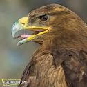 Steppe Eagle.