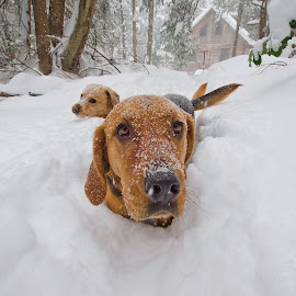 Snow Storm Jonas with Dixie and Chloe by Carolyn Symes - Animals - Dogs Playing ( friends, dogs, snow, play, cute, portrait )