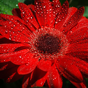 Red Gerbera by Tom Whitney - Nature Up Close Flowers - 2011-2013 ( natural light, nature subjects, website, green, plants, daisy, gerbera, pwcflowergarden, red, 7d, minimal processing, horizontal, landscapes, flower, nature, flowers,  )