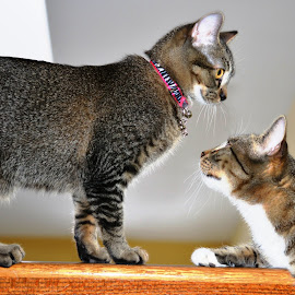 The Secret Language Of Kitty Cats by Beth Bowman - Animals - Cats Kittens