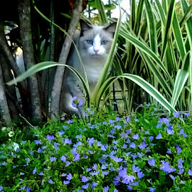 Cody in the Garden by Marie McAneney - Animals - Cats Playing ( #ragdoll, #garden, #cat, #purple, #flower )