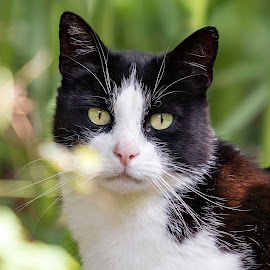 Tommy by Noa Nikita Heike Rödling - Animals - Cats Portraits ( cats, cat, nature, summer, eyes,  )