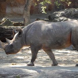Black Rhino by Kristine Nicholas - Novices Only Wildlife ( savannah, animals, horns, rhinoceros, grey, gray, africa, rhinos, animal )