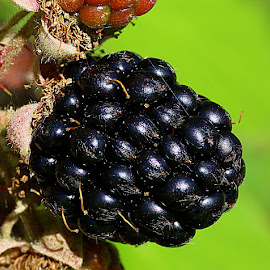 A Blackberry by Chrissie Barrow - Nature Up Close Gardens & Produce ( plant, blackberry, wild, macro, green, bush, bokeh, closeup, black, berries )