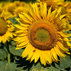 Girasole 2 by Simona Ciglenean - Flowers Flowers in the Wild (  )