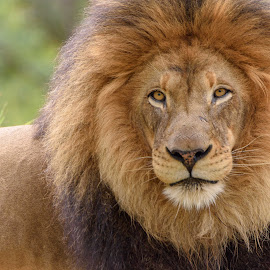 MALE LION by William Sawtell - Animals Lions, Tigers & Big Cats ( king of the jungle, lion, the king, wildlife, male lion )