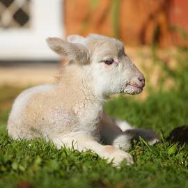 little lamb by Stefanie Hawkins - Animals Other Mammals ( home, grass, lamb, baby, sun )