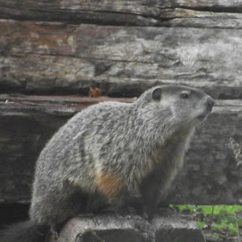 Groundhog by Valerie Paree - Animals Other