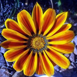 gazania 29th July 2016. by Lizzie Tibbles-Cheal - Flowers Single Flower