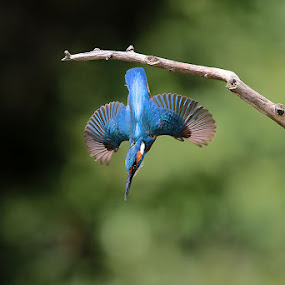 Kingfisher by Matteo Chinellato - Animals Birds ( bird, kingfisher, martin pescatore, animal, motion, animals in motion, pwc76 )