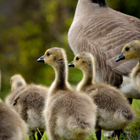 Fluffy Young by Kevin Pastores - Animals Birds ( bird, gosling, fluffy, geese, young, spring, goose )