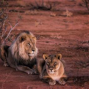 Lovers by Janne Monsen - Animals Lions, Tigers & Big Cats ( lion, wild, animals, beautiful, wildlife, africa )