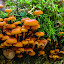 With my Friends by Bob Minnie - Nature Up Close Mushrooms & Fungi ( mushrooms, orange, woods )