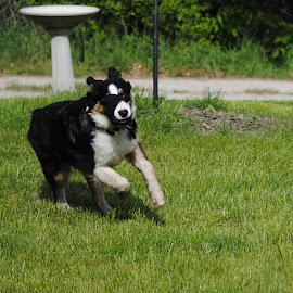 by Margaret Potter - Animals - Dogs Running