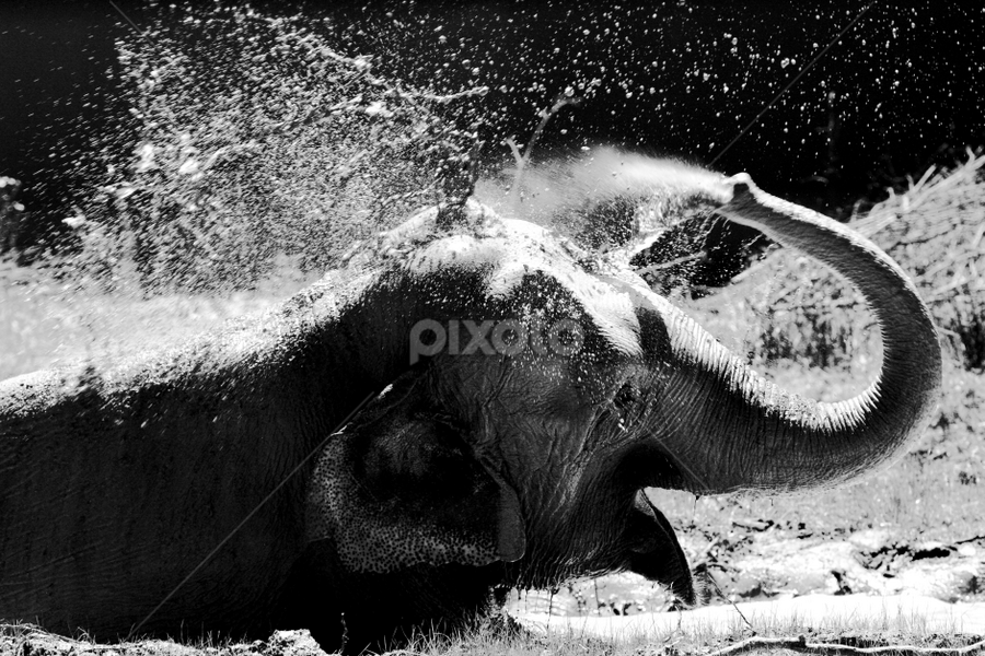 Daily shower ... by Ioan-Dan Petringel - Animals Other Mammals ( targu mures, zoo, elephant, shower, black&white )