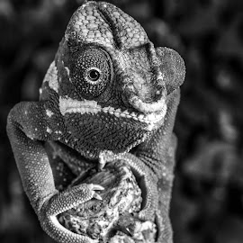 Chameleon by Garry Chisholm - Black & White Animals ( macro, panther chameleon, nature, garrychisholm, reptile )